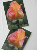 Rosenpostkarte Knospe