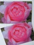 Rosenpostkarte pink