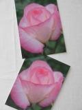 Rosenpostkarte weiss mit rosa Rand